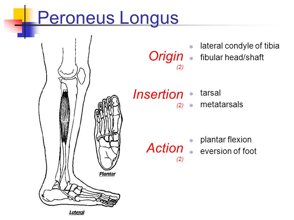 Peroneus Longus Origin Insertion Action lateral condyle of tibia