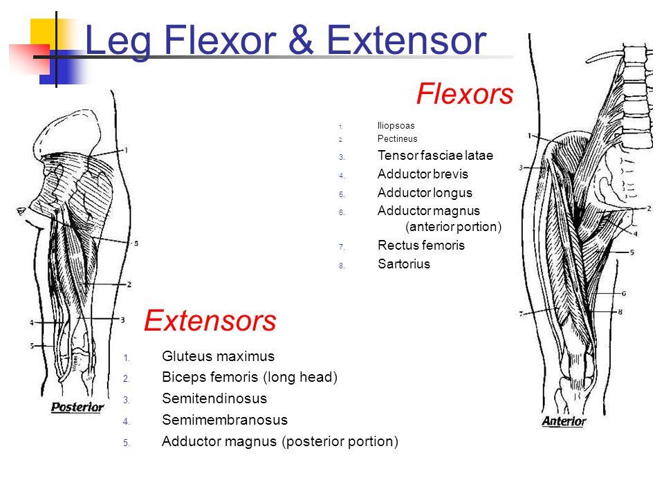 Leg Flexor & Extensor Flexors Extensors Gluteus maximus