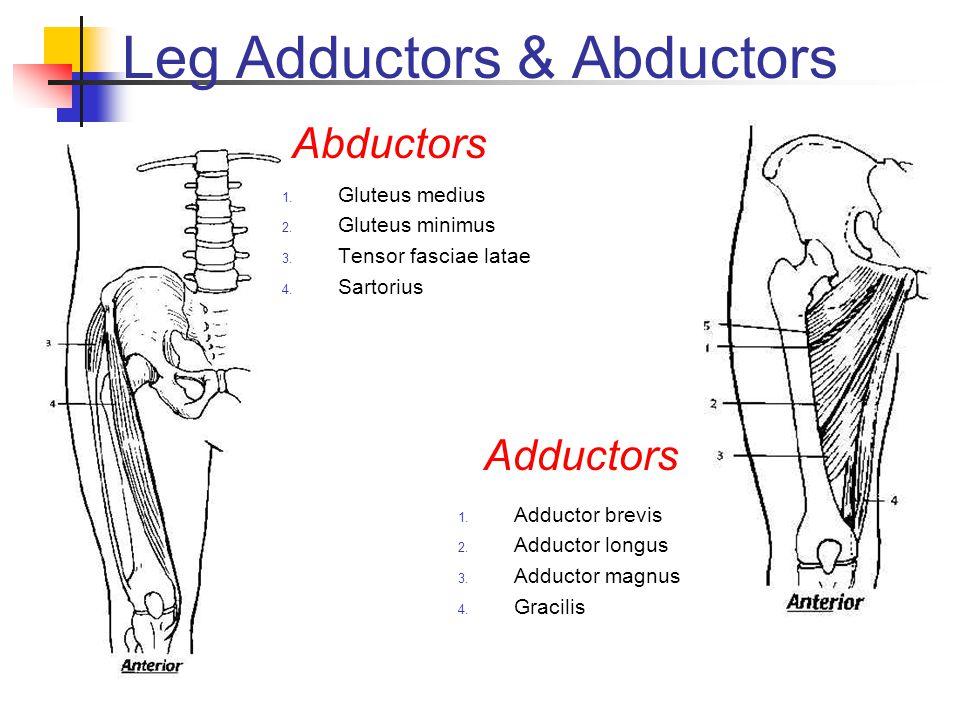 Leg Adductors & Abductors