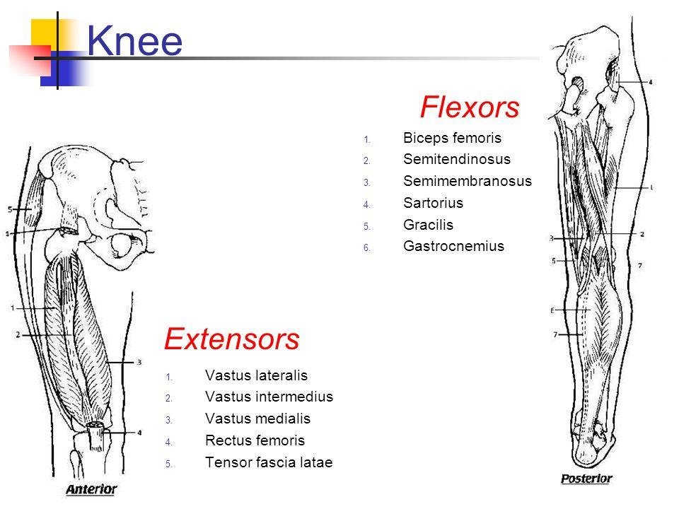 Knee Flexors Extensors Biceps femoris Semitendinosus Semimembranosus