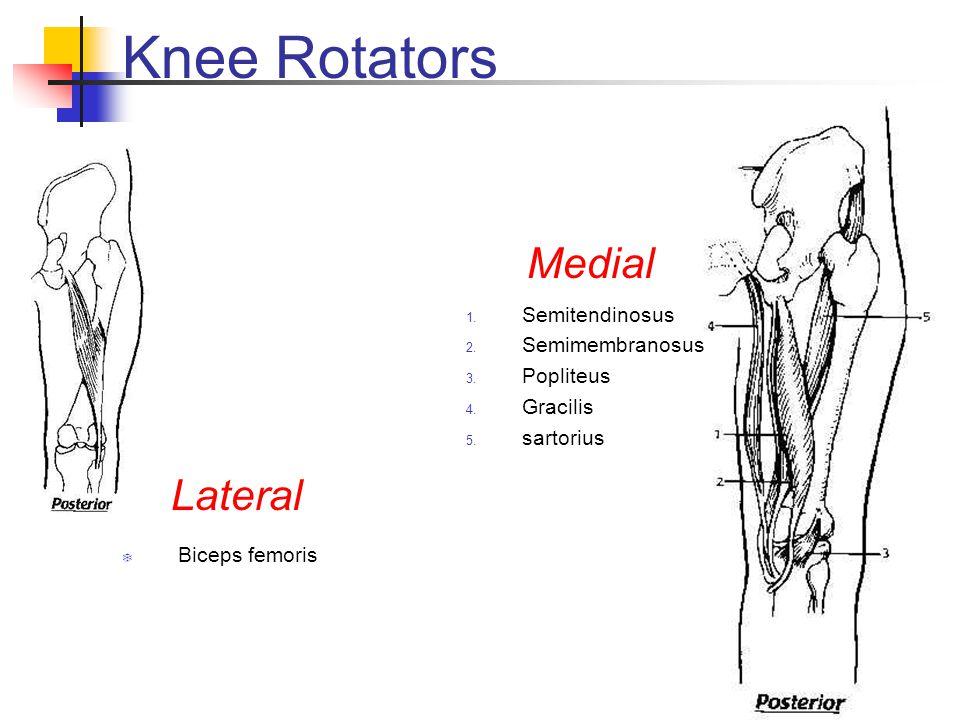 Knee Rotators Medial Lateral Semitendinosus Semimembranosus Popliteus