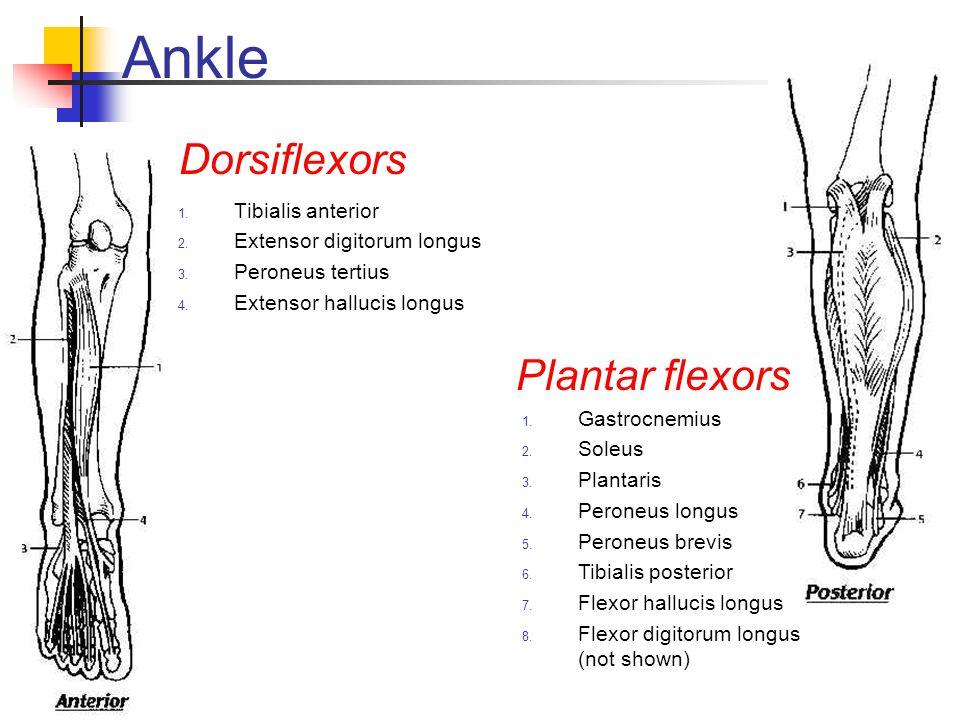 Ankle Dorsiflexors Plantar flexors Tibialis anterior