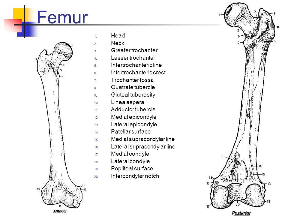 Femur Head Neck Greater trochanter Lesser trochanter