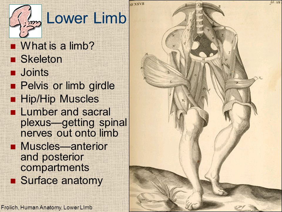 Lower Limb What is a limb Skeleton Joints