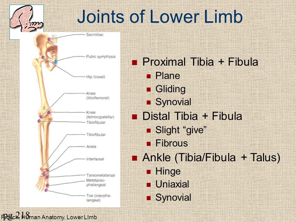 Joints of Lower Limb Proximal Tibia + Fibula Distal Tibia + Fibula