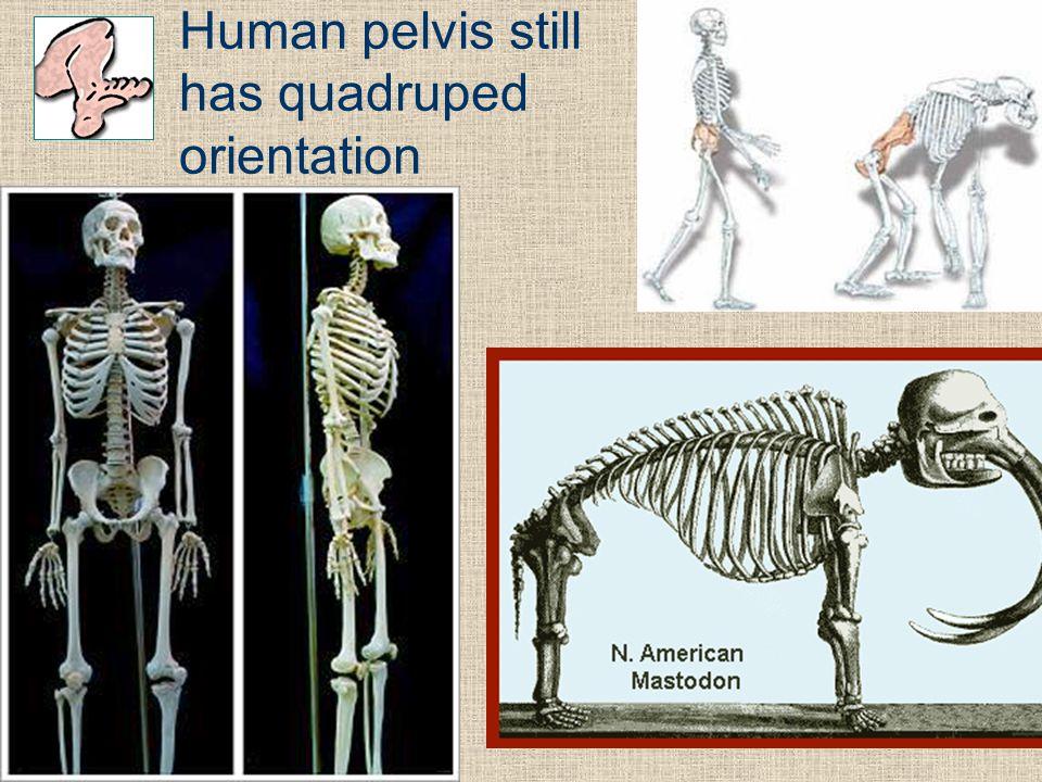 Human pelvis still has quadruped orientation