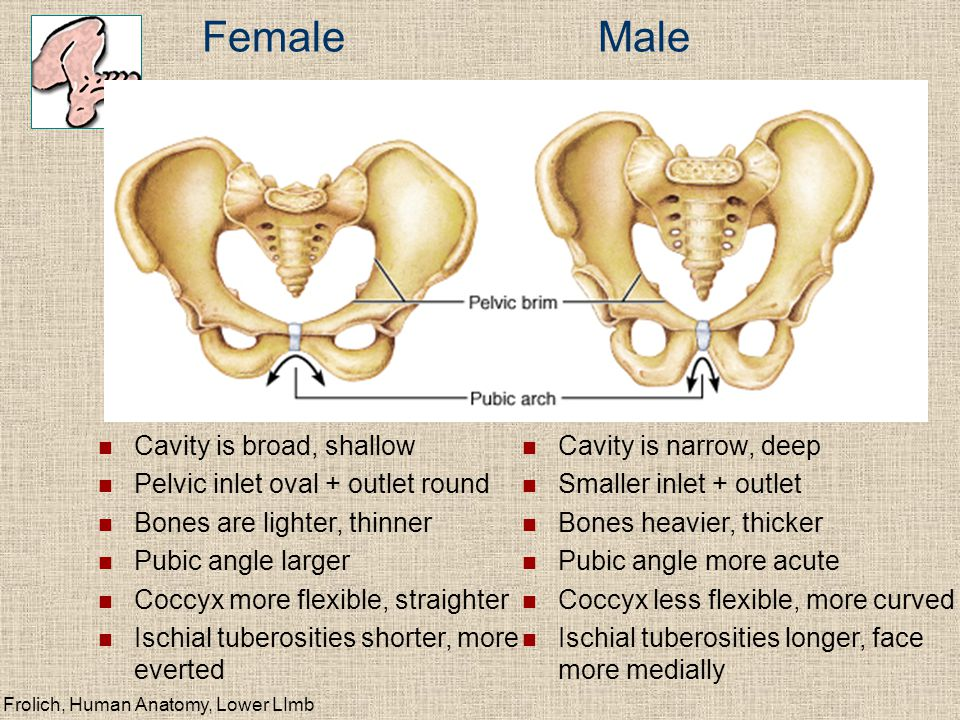 Female Male Cavity is broad, shallow Pelvic inlet oval + outlet round