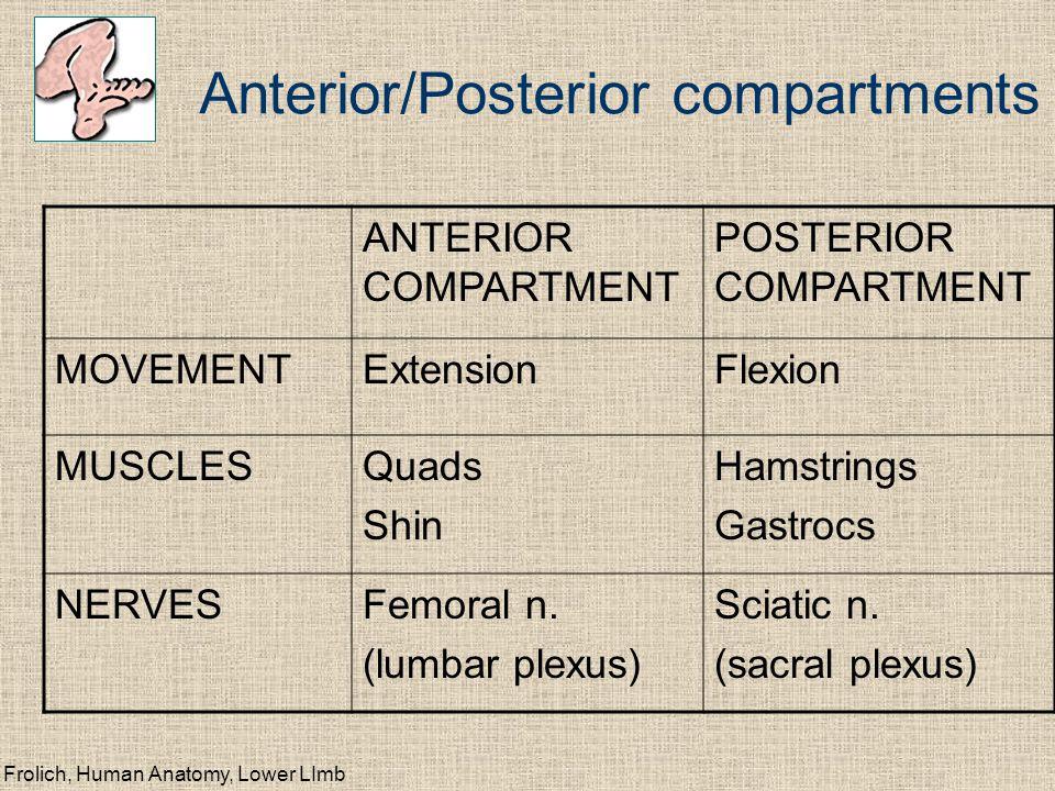 Anterior/Posterior compartments