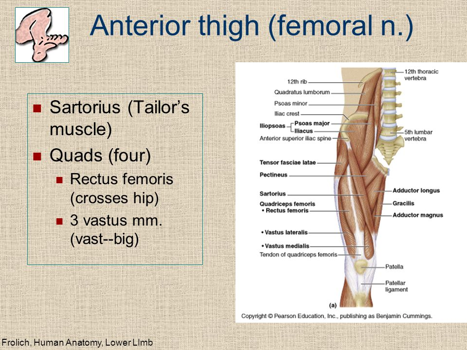 Anterior thigh (femoral n.)