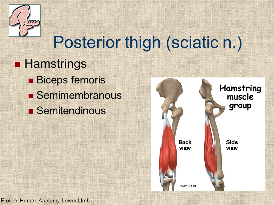 Posterior thigh (sciatic n.)
