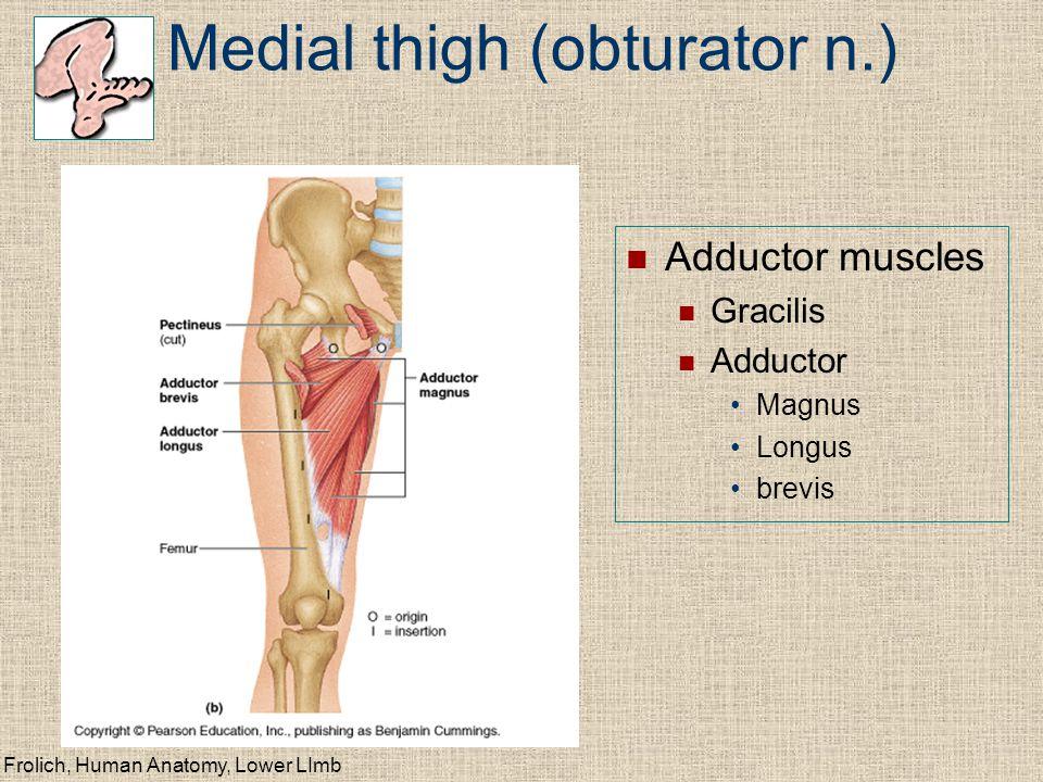 Medial thigh (obturator n.)