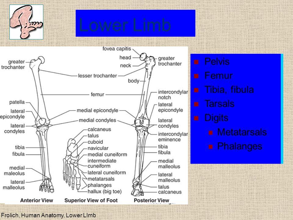 Lower Limb Upper Limb Pelvis Femur Tibia, fibula Tarsals Digits