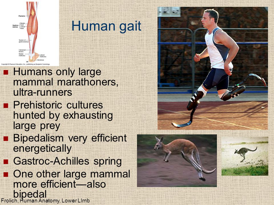 Human gait Humans only large mammal marathoners, ultra-runners