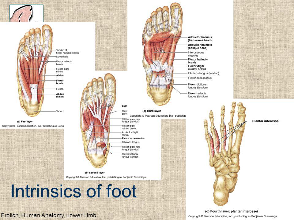 Intrinsics of foot Frolich, Human Anatomy, Lower LImb