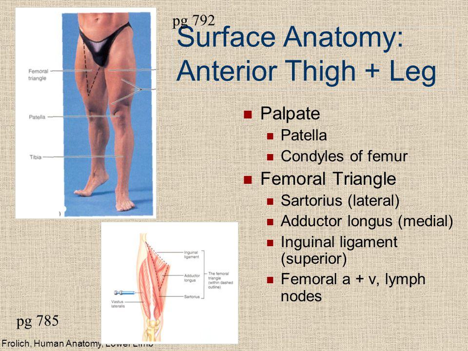 Surface Anatomy: Anterior Thigh + Leg