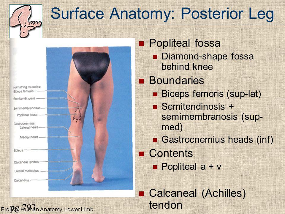 Surface Anatomy: Posterior Leg