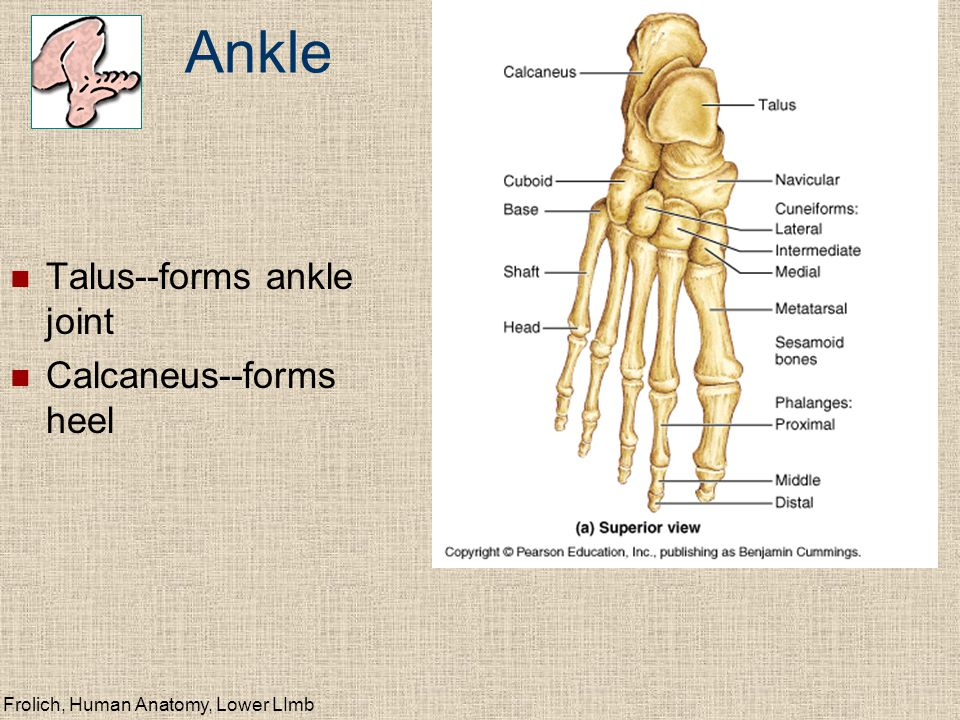 Ankle Talus--forms ankle joint Calcaneus--forms heel
