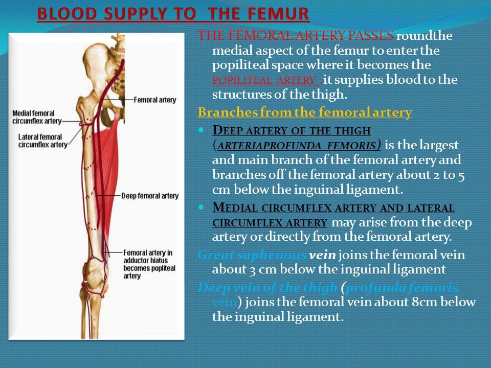BLOOD SUPPLY TO THE FEMUR