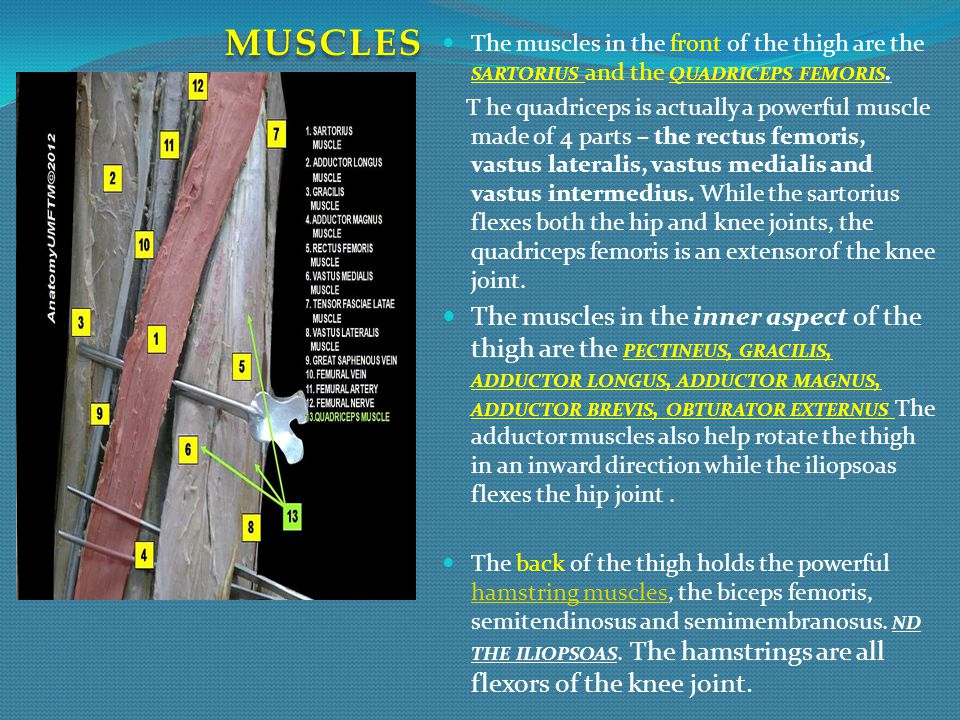 MUSCLES The muscles in the front of the thigh are the sartorius and the quadriceps femoris.