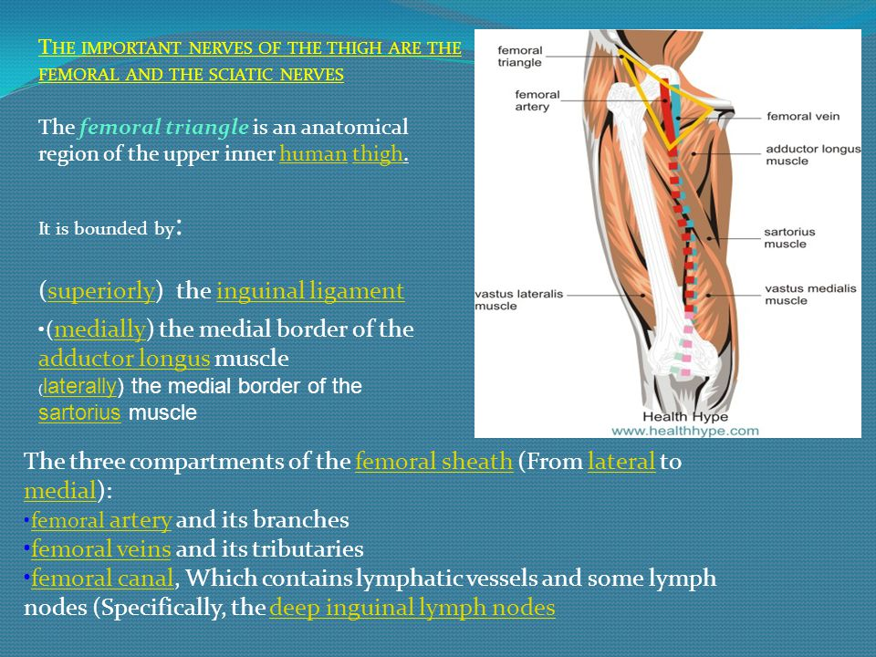 (superiorly) the inguinal ligament