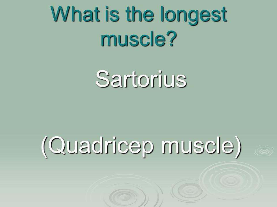 What is the longest muscle