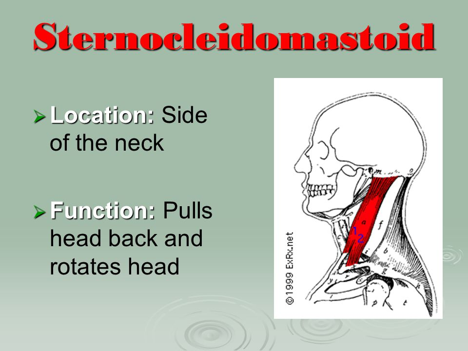 Sternocleidomastoid Location: Side of the neck
