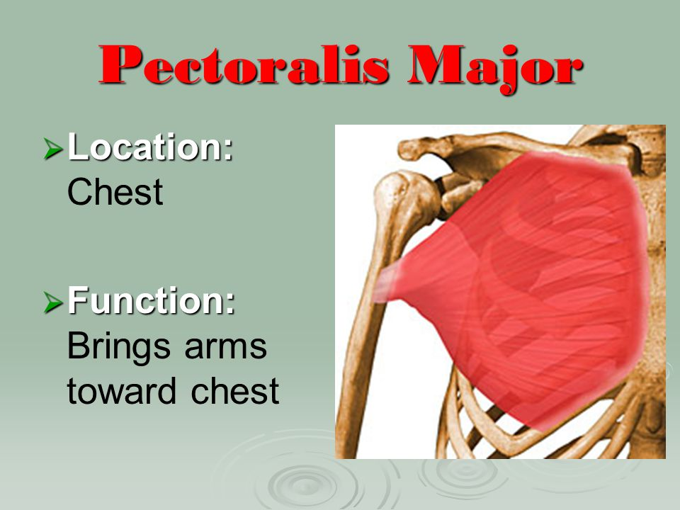 Pectoralis Major Location: Chest Function: Brings arms toward chest