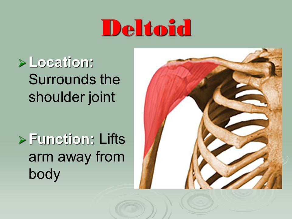Deltoid Location: Surrounds the shoulder joint