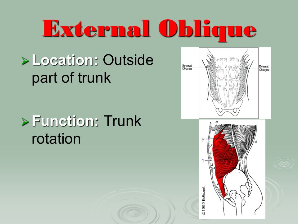 External Oblique Location: Outside part of trunk