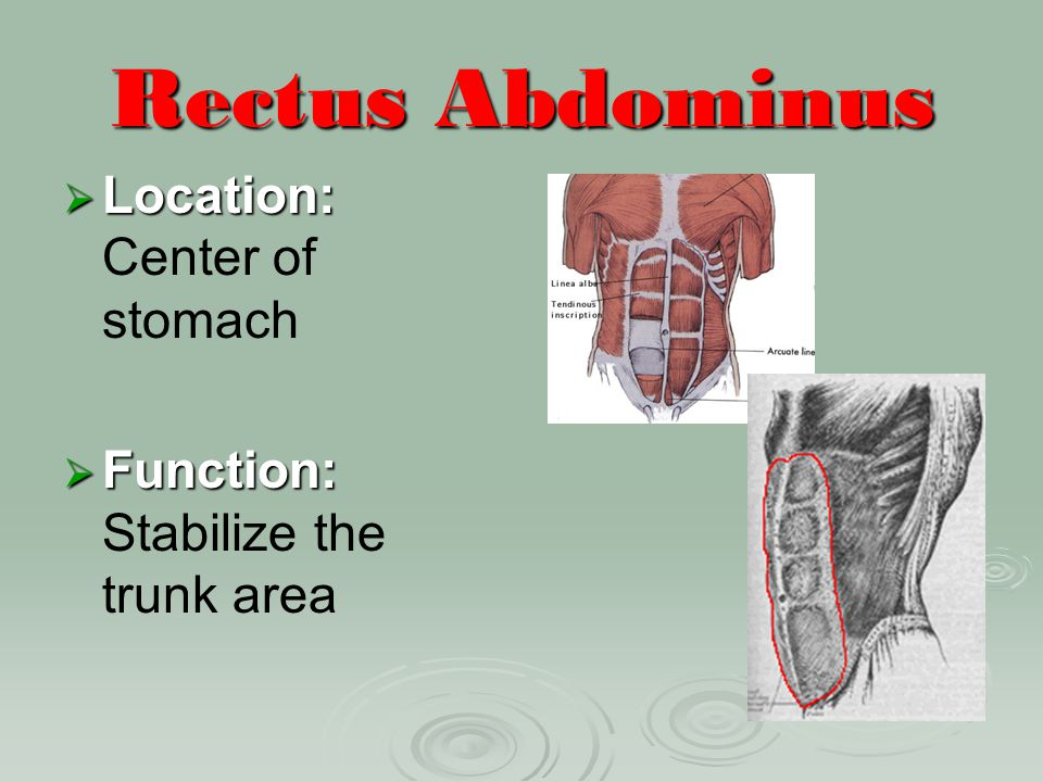 Rectus Abdominus Location: Center of stomach