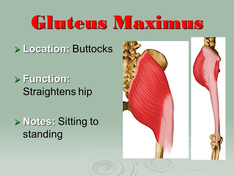 Gluteus Maximus Location: Buttocks Function: Straightens hip