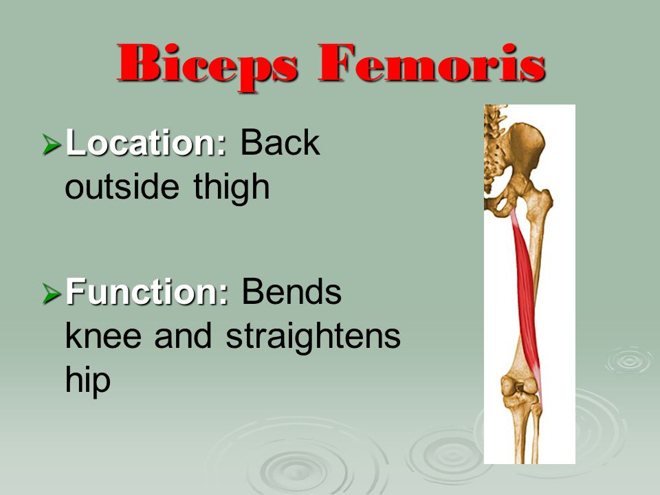 Biceps Femoris Location: Back outside thigh