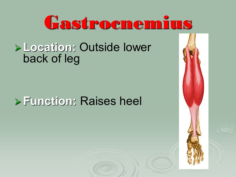 Gastrocnemius Location: Outside lower back of leg
