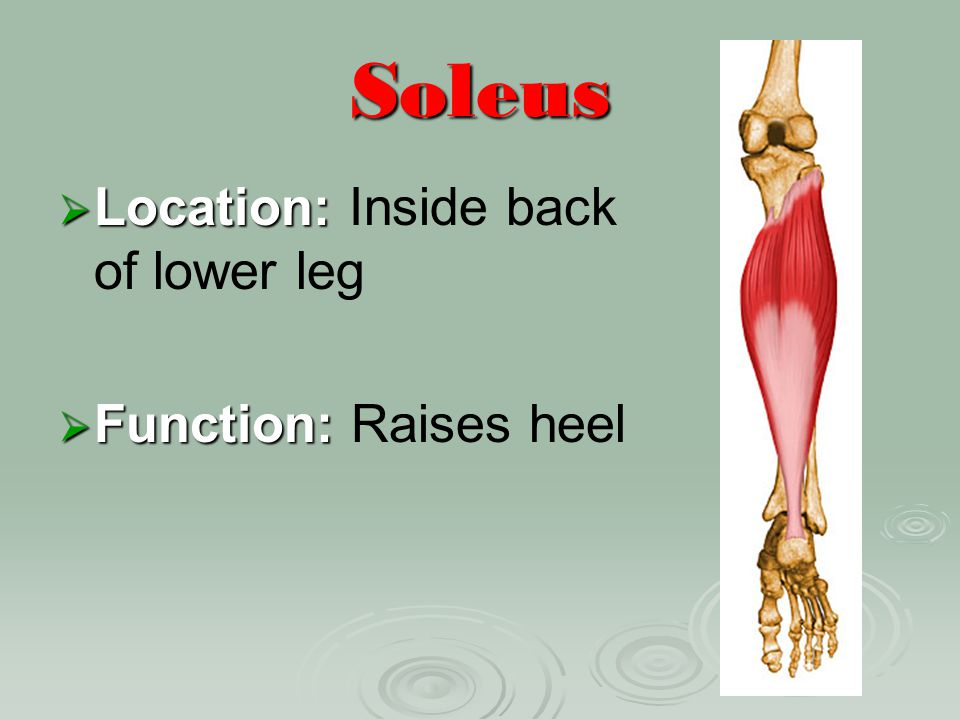 Soleus Location: Inside back of lower leg Function: Raises heel