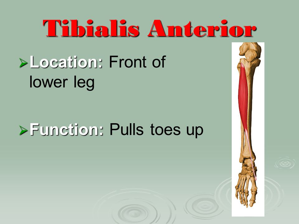 Tibialis Anterior Location: Front of lower leg Function: Pulls toes up