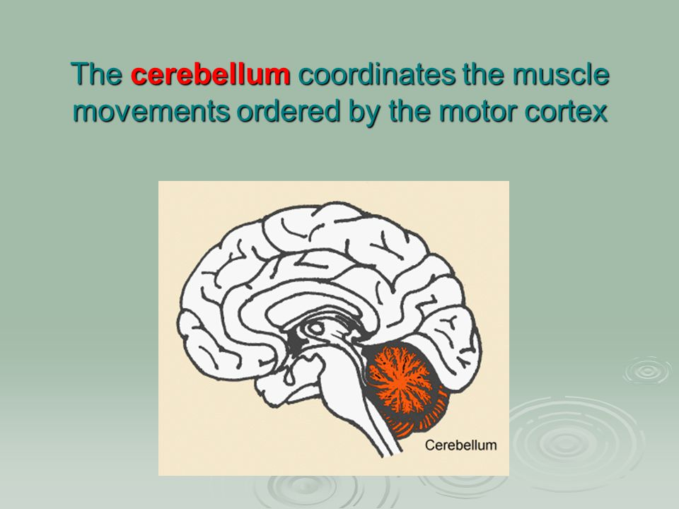 The cerebellum coordinates the muscle movements ordered by the motor cortex