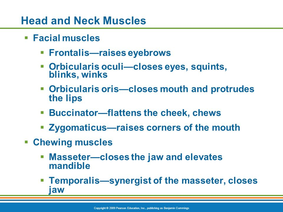 Head and Neck Muscles Facial muscles Frontalis—raises eyebrows
