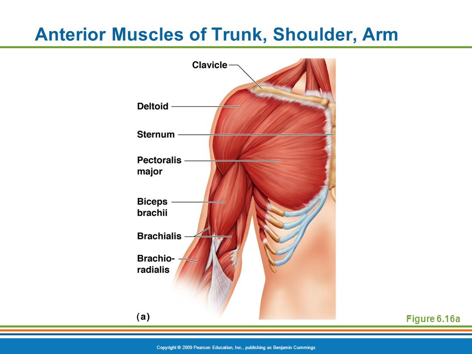 Anterior Muscles of Trunk, Shoulder, Arm
