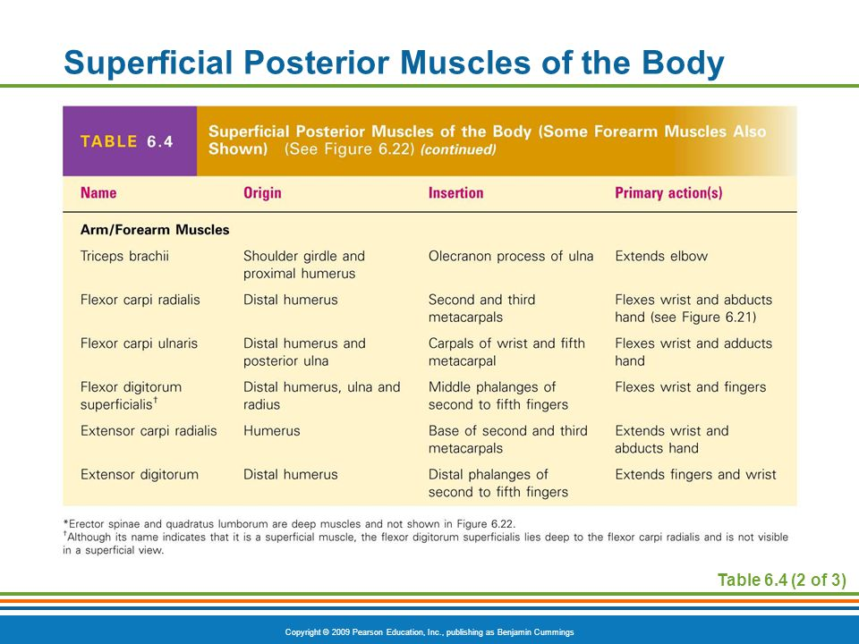 Superficial Posterior Muscles of the Body