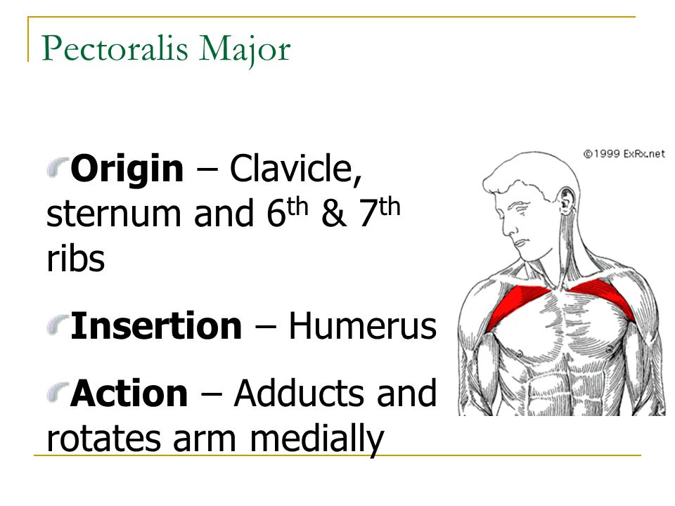 Pectoralis Major Origin – Clavicle, sternum and 6th & 7th ribs
