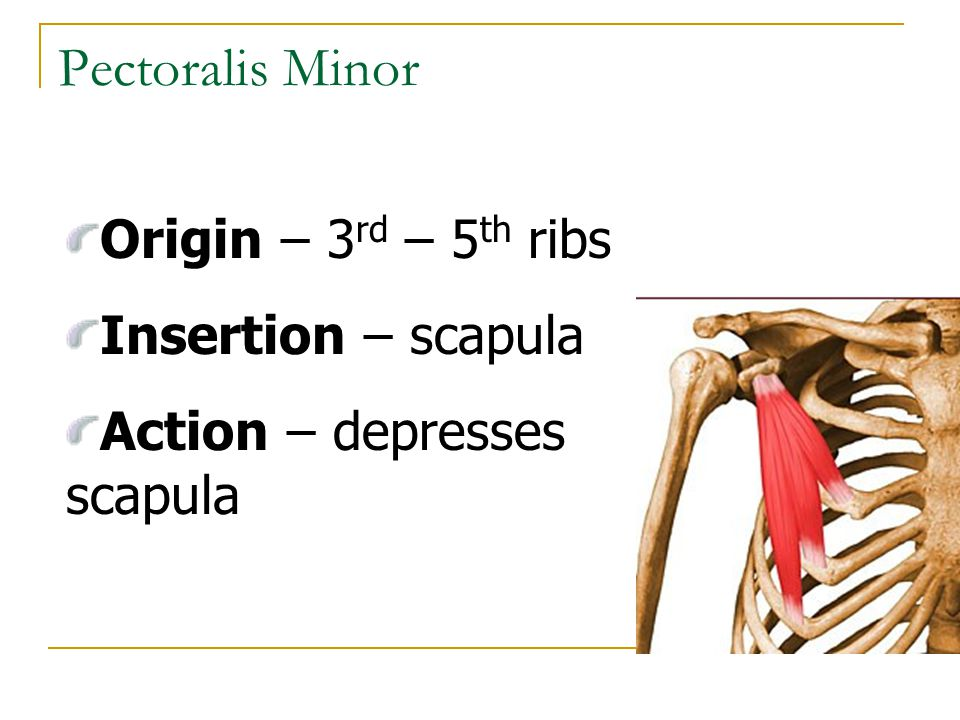 Pectoralis Minor Origin – 3rd – 5th ribs Insertion – scapula