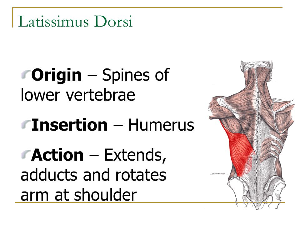 Latissimus Dorsi Origin – Spines of lower vertebrae