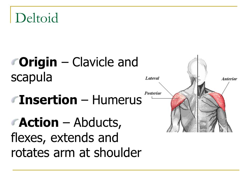 Deltoid Origin – Clavicle and scapula Insertion – Humerus