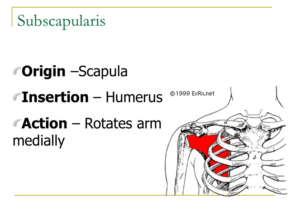 Subscapularis Origin –Scapula Insertion – Humerus
