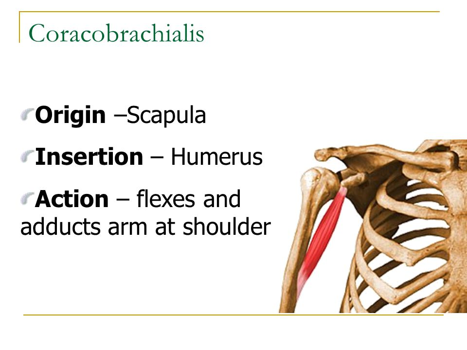 Coracobrachialis Origin –Scapula Insertion – Humerus