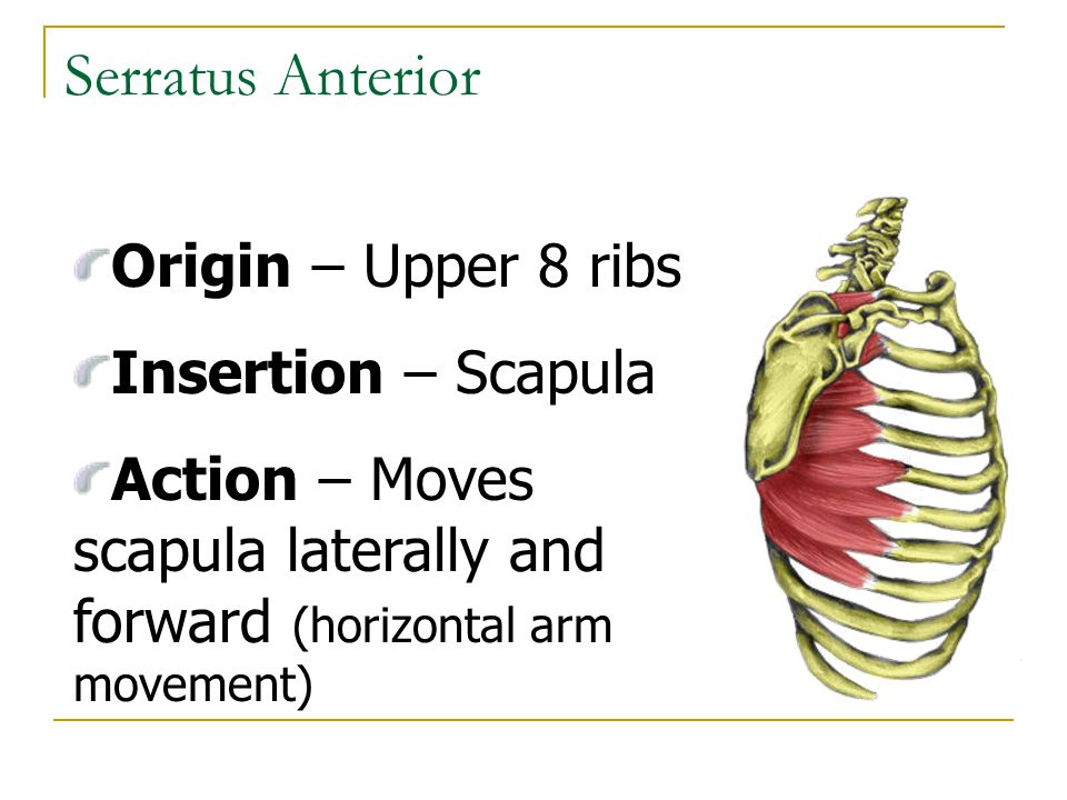 Serratus Anterior Origin – Upper 8 ribs Insertion – Scapula
