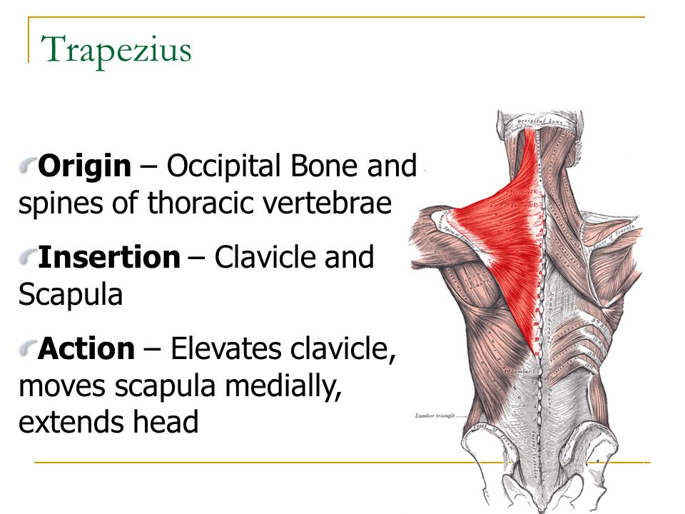Trapezius Origin – Occipital Bone and spines of thoracic vertebrae