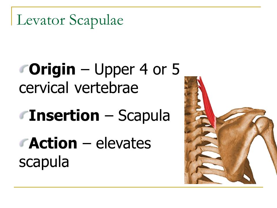 Levator Scapulae Origin – Upper 4 or 5 cervical vertebrae