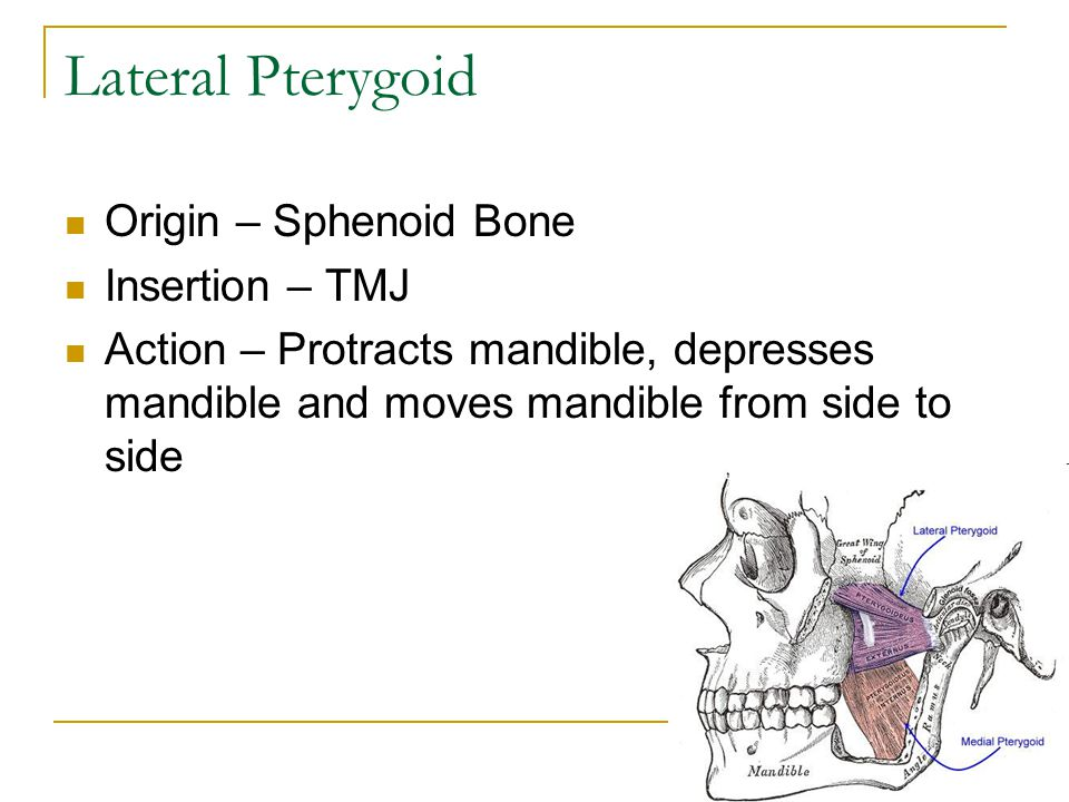 Lateral Pterygoid Origin – Sphenoid Bone Insertion – TMJ