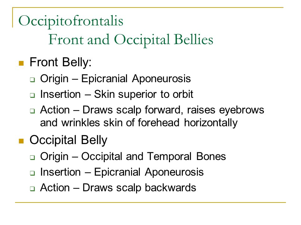 Occipitofrontalis Front and Occipital Bellies